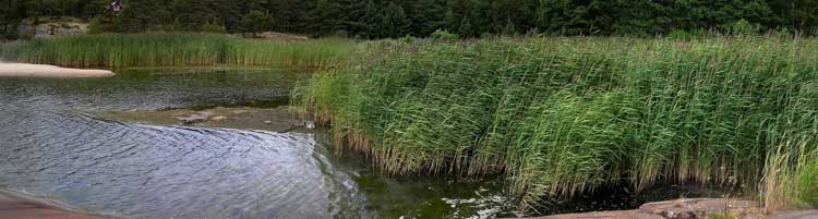 reed beds as water filtration systems