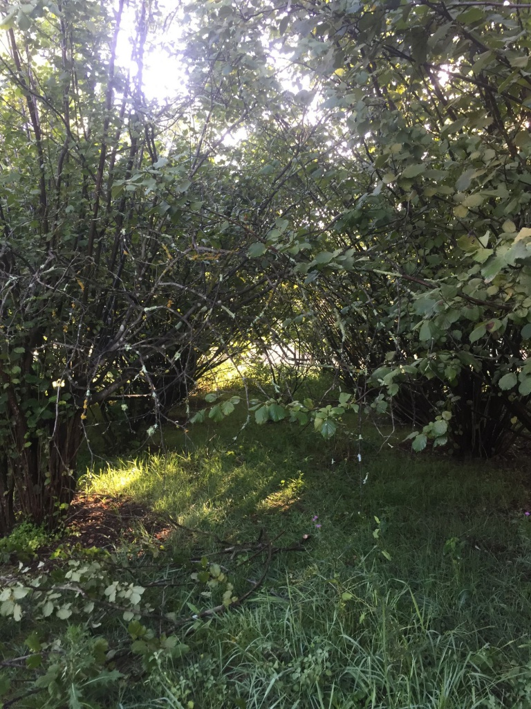 Hazelnut Orchard - Before Pruning