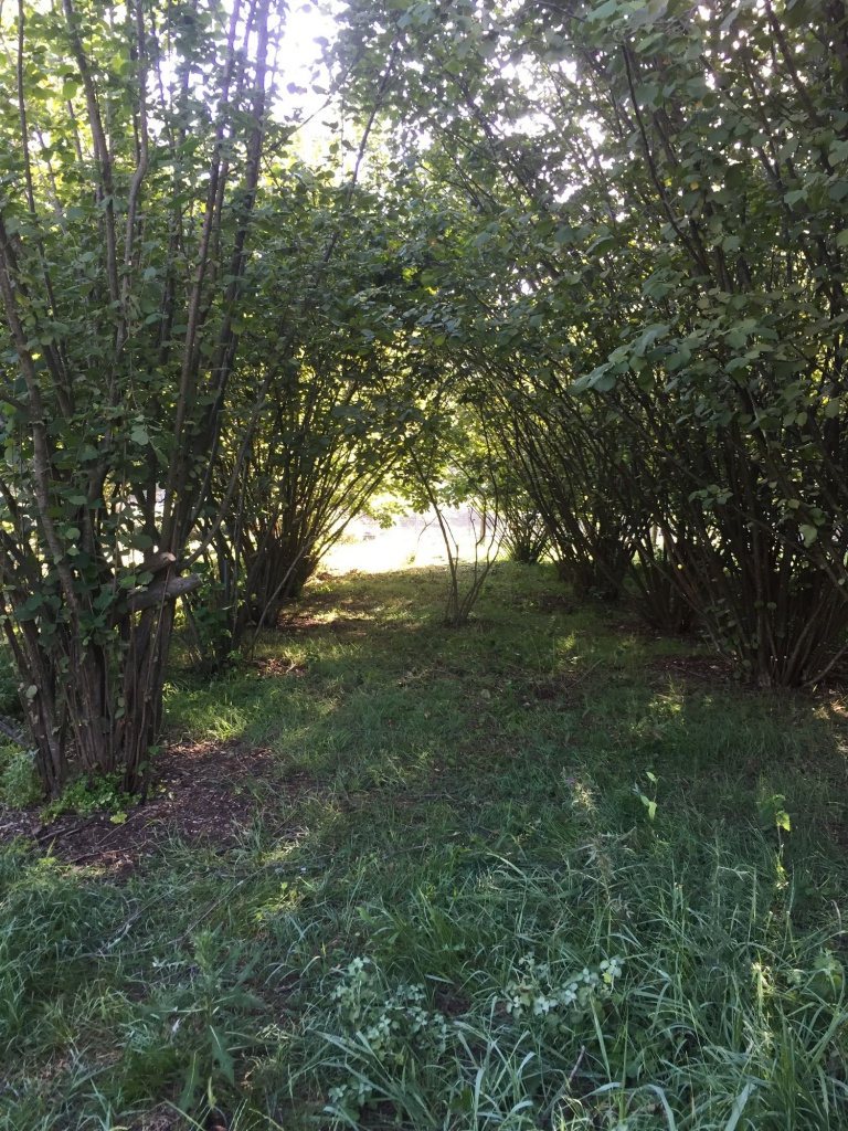 Hazelnut Orchard - After Pruning