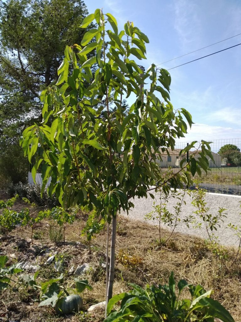 Cherry Tree - Permaculture