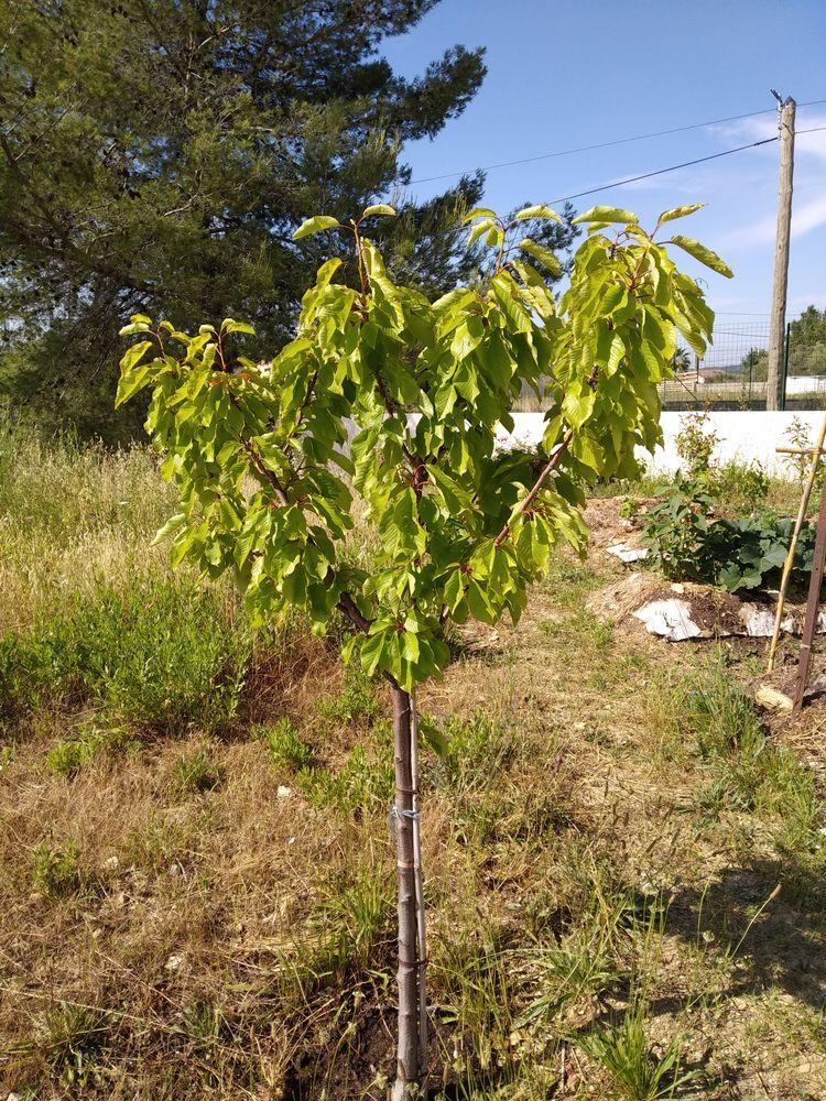 Cherry tree in ground