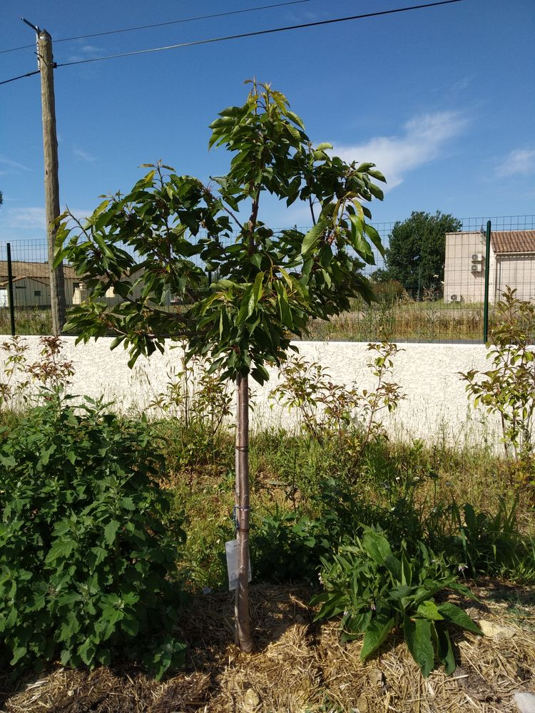 Cherry tree in permaculture bed