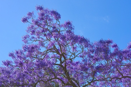 Jacaranda, NSW